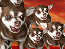 FOF #1138 - A Pack of Hungry Chihuahuas - 02.04.10