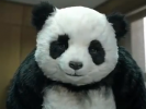 VIDEO: Pandas Are Cute But Mean as Hell