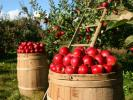 Apple Picking: Time-Honored Tradition or Migrant Worker Training Camp?