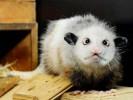 Heidi the Opossum on Diet to Fix Eyes