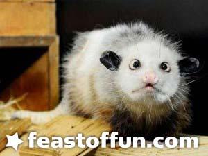 VIDEO: Heidi the Cross-Eyed Opossum