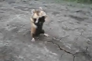 VIDEO: Hamster Has Pon Farr, Takes on Russian Guys