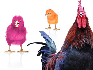 FOF #1559 - When Baby Chicks Become Scary Roosters - 04.09.12