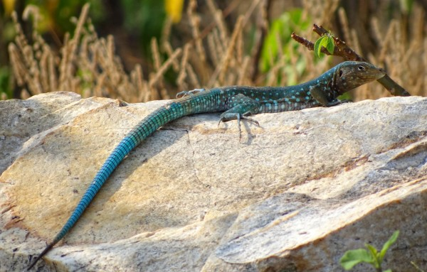 """""""Mmm, hmm. I know that's right."""" says the whiptail lizard, where some all-female species produce offspring without any men. -source."""
